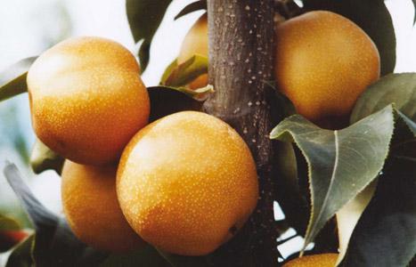 Pera mela nashi trybeca centallo try